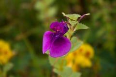 Fleurs et x28 ; Impatience Lawii& x29 ; Photo libre de droits