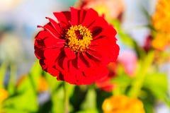 Fleurs et légumes de Zinnia au farmer& x27 ; marché de s Image stock
