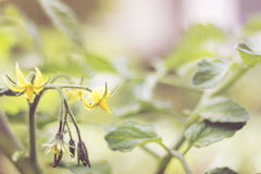 Fleurs et lame de tomate Image libre de droits