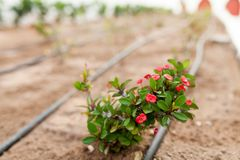 Fleurs et le système d'irrigation automatique avec les tuyaux en plastique photos libres de droits
