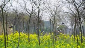 Fleurs et pies de viol au printemps image stock