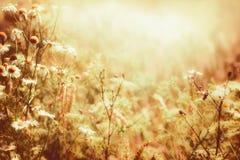 Fleurs et rayon de soleil ensoleillés de marguerites Paysage de pays de fin d'été, extérieur photo stock