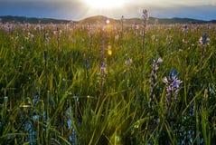 Fleurs et runrise de marais Photos libres de droits