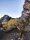Fleurs et tessons jaunes d'obsidien au sommet de cratère de Panum photo libre de droits