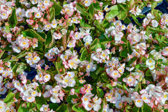 Fleurs everblooming blanches et roses de bégonia photo stock