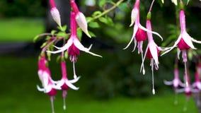 Fleurs exceptionnellement belles de fuchsia dans les gouttelettes de rosa Utilisant le glisseur banque de vidéos
