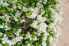 Fleurs exotiques, bouganvillée blanche en parc photographie stock libre de droits