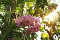 Fleurs exotiques d'orchidée de Vanda avec les taches violettes vivant sur le tru d'arbre Image libre de droits