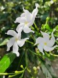 Fleurs exotiques mêmes de jasmin photo libre de droits