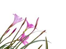 Fleurs féeriques de lis Image stock