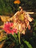 Fleurs fanées de marguerite de Gerbera Images stock