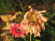Fleurs fanées de marguerite de Gerbera Photos stock
