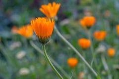 Fleurs fermées de calendula le soir Photo stock