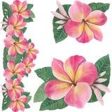 Fleurs, feuilles et bourgeons de plumeria Photo stock