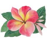 Fleurs, feuilles et bourgeons de plumeria Images stock