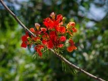 Fleurs flamboyantes avec le fond de nature Image libre de droits
