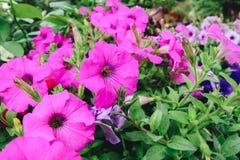 Fleurs fleurissant pendant le matin avec beaucoup de feuilles vertes colorées photographie stock libre de droits