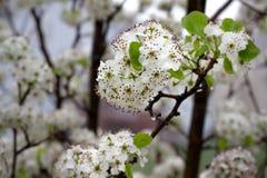 Fleurs fleurissantes blanches de poirier photographie stock libre de droits