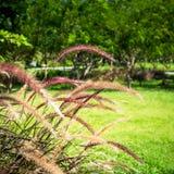 Fleurs fleurissantes d'herbe Image stock