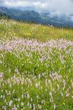 Fleurs fleurissantes de Bistros dans le paysage d'alpe photo libre de droits