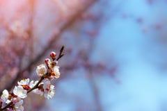 Fleurs fleurissantes de ressort d'abricot Photos libres de droits