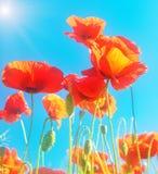 Fleurs fleurissantes des pavots d'écarlate Image libre de droits
