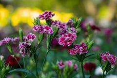 Fleurs foncé-pourpres blanches dans le jardin Photos stock