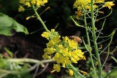Fleurs fonctionnantes de brocoli d'abeille Photographie stock libre de droits