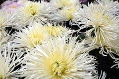Fleurs fraîches blanches, pétales, fond naturel, beauté de jardin Photos libres de droits