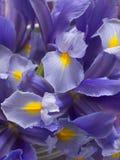 Fleurs fraîches d'iris Images stock