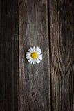 Fleurs fraîches de camomille sur la table en bois Photographie stock