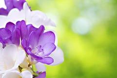 Fleurs fraîches de fresia Photographie stock