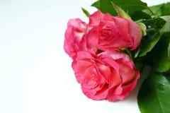 Fleurs fraîches de jardin sur le fond blanc Roses roses de bouquet Images stock