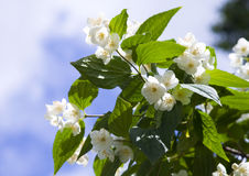 Fleurs fraîches de jasmin Photo libre de droits