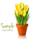 Fleurs fraîches de jaune de source Image stock