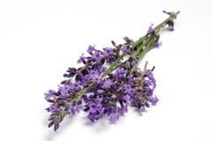 Fleurs fraîches de lavande Photo stock