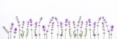 Fleurs fraîches de lavande sur un fond blanc La lavande fleurit la bannière Copiez l'espace images libres de droits