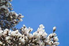 Fleurs fraîches de magnolia Photographie stock