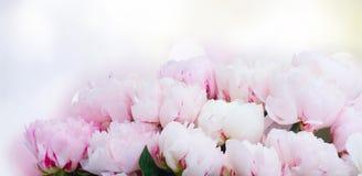Fleurs fraîches de pivoine Image stock