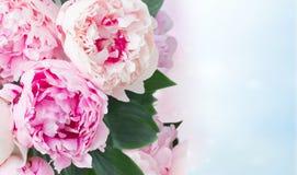 Fleurs fraîches de pivoine Photographie stock libre de droits