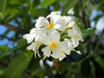 Fleurs fraîches de plumeria Images libres de droits