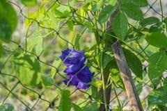 Fleurs fraîches de pois dans le jardin image stock