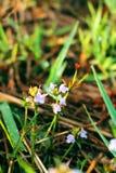 Fleurs fraîches, fleurs d'herbe Image libre de droits