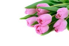 Fleurs fraîches roses de tulipes d'isolement sur le blanc Images stock