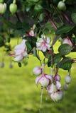 Fleurs fuchsia Images libres de droits