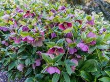 Fleurs fuchsia de ressort à Seattle Images libres de droits