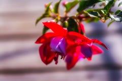 Fleurs fuchsia extérieures, belle fleur colorée, fond en bois haut étroit de Flor de fuchsia Images stock