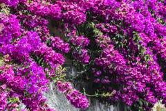 Fleurs fuchsia roses lumineuses sur le mur photos stock