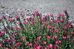 Fleurs fuchsia sauvages vivaces Image stock