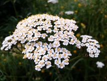 Fleurs gentilles d'été Photos libres de droits